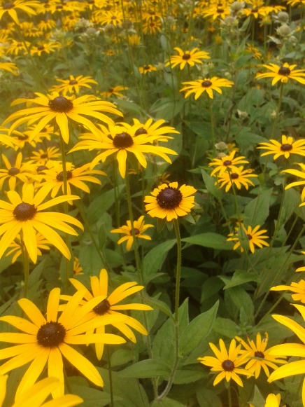 black eyed susans infront of pavilion one of these is not like the other aug 2015