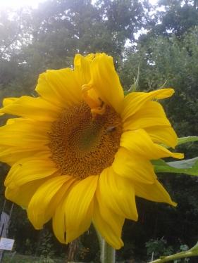 sunflower in children's garden Sep 2015