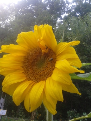 sunflower in children's garden Sep 2015