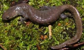 wp28-salamander