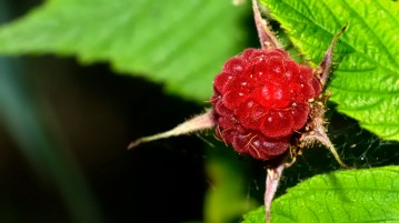 wp42-wild raspberry