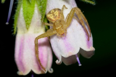 wp49-green-crab-spider
