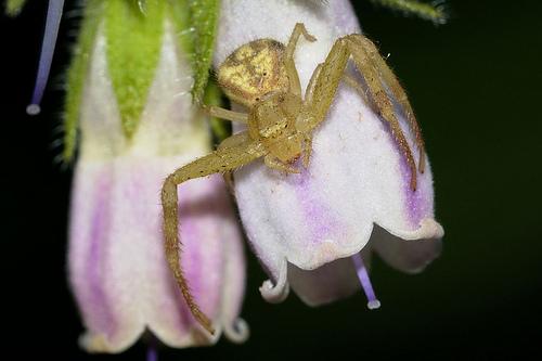 wp49-green-crab-spider